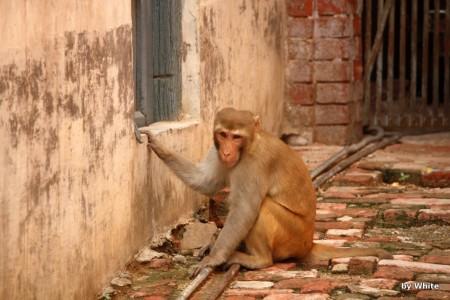 Małpa uliczna