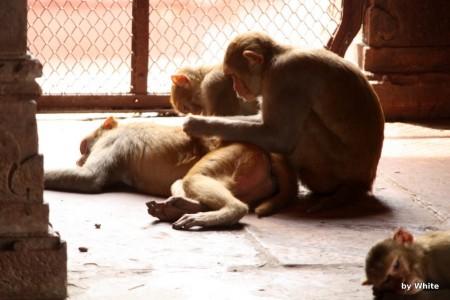 Govind Deo Temple - małpy #1