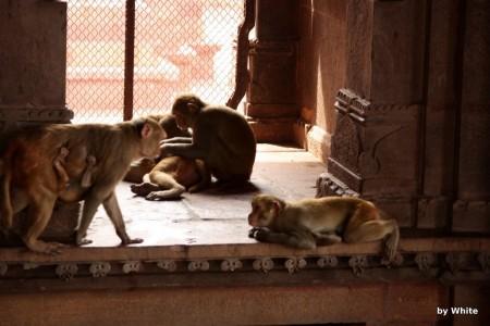 Govind Deo Temple - małpy #2
