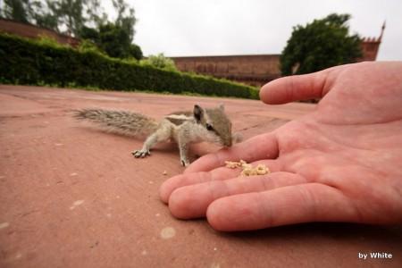 Agra fort - wiewiórki