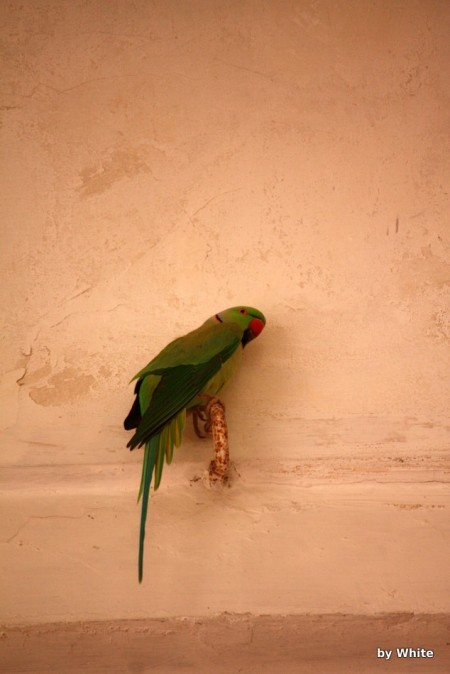 Agra fort - papuga