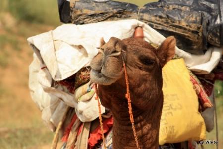 Jaisalmer Camel
